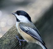Beautiful  photo of a black-capped chickadee bird Royalty Free Stock Image