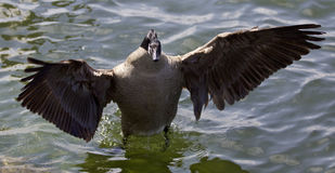Beautiful  photo of a Canada goose staying with the opened wings Stock Image