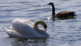 Beautiful  photo of the contest between the swan and the Canada goose Royalty Free Stock Images