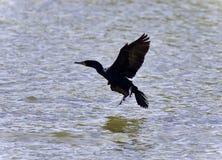 photo of a cormorant landing to lake stock photography