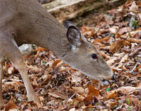 Beautiful photo of the cute deer eating the leaves in the forest Stock Photography
