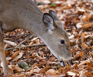 Beautiful photo of the cute deer eating the leaves Royalty Free Stock Photography