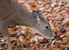 Beautiful photo of the cute deer eating the leaves Stock Image