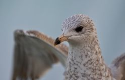 Beautiful photo of a cute gull with the wings opened Stock Images