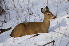 Beautiful photo of the deer on the snow looking aside. And eating something Stock Photos
