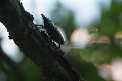 Beautiful photo of a female stag beetle on oak branch Royalty Free Stock Photography