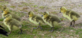 Beautiful photo of five cute chicks of the Canada geese Royalty Free Stock Photos
