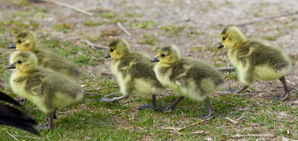 Beautiful photo of five cute chicks of the Canada geese going together Stock Photos