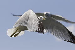 Beautiful photo of the flying gulls. Beautiful isolated photo of the gulls Royalty Free Stock Photos