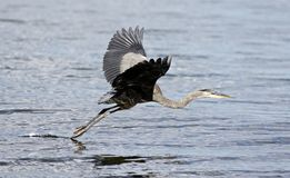 Beautiful  photo with a funny great heron flying near the water Royalty Free Stock Images