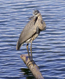 Beautiful photo of a great blue heron near the water Royalty Free Stock Photography