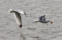 Beautiful photo of a gull chasing its rival with the food near the water Stock Photo