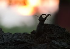 Male stag beetle, Lucanus cervus, sunset in the background. Beautiful photo of a male stag beetle, Lucanus cervus, sunset in the background Stock Image