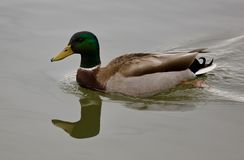 Beautiful  photo of a mallard swimming. Beautiful  image of a mallard swimming Stock Photos