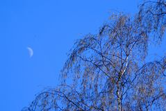 Birch and moon royalty free stock image