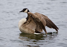 Beautiful  photo of the noble Canada goose with the wings. Beautiful photo of the noble Canada goose with the wings swimming in the lake Stock Photos
