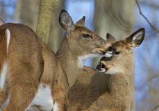 Beautiful photo of a pair of the cute wild deers Stock Photo