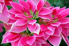 Beautiful Pink and White Poinsettias. Beautiful Photo of Pink and White Poinsettias in the City Park royalty free stock photo