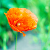 Beautiful photo of poppy in bloom on green meadow background Royalty Free Stock Photos