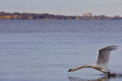 Beautiful photo with a powerful swan& x27;s take off from the lake Royalty Free Stock Images