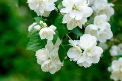 Blooming jasmine bush. Beautiful photo strongly blooming jasmine green bush royalty free stock image