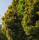 A beautiful photo of a tree green and yellow leaves. Taken on a sunny spring day royalty free stock images