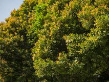 A beautiful photo of a tree green and yellow leaves. Taken on a sunny spring day stock image
