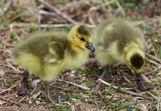 Beautiful photo with two chicks of the Canada geese Royalty Free Stock Images