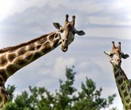Beautiful photo of two cute giraffes eating leaves. Image of a pair of cute giraffes eating leaves Royalty Free Stock Photos