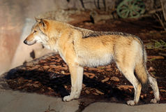 Beautiful photo of a wolf. Beautiful photo with a wolf illuminated by the sunutiful photo of a wolf Stock Photos
