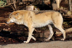 Beautiful photo of a wolf Stock Images