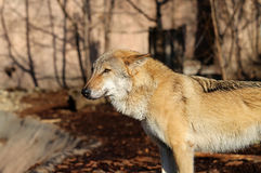 Beautiful photo of a wolf. Beautiful photo with a wolf illuminated by the sunutiful photo of a wolf Stock Images