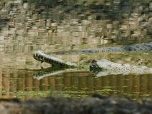 A Beautiful Photograph of a big crocodile on a river. stock images