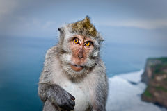 Beautiful photograph of a monkey posing. Beautiful photograph of a monkey giving funny expression for the camera in Bali Royalty Free Stock Image