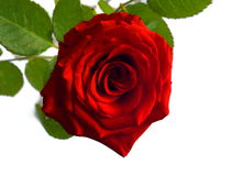 Beautiful photography of inside the red rose with leave Royalty Free Stock Photo