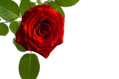 Beautiful photography of inside the red rose with leaves Stock Images