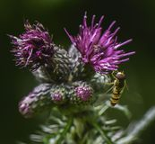 Bee on ultra violet coloured thistle Royalty Free Stock Image