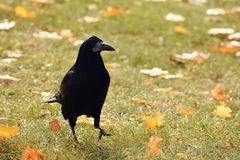 Beautiful picture of a bird - raven / crow in autumn nature. (Corvus frugilegus) Royalty Free Stock Photos