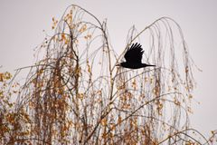 Beautiful picture of a bird - raven / crow in autumn nature. (Corvus frugilegus) Stock Photo