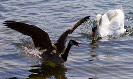 Beautiful  picture with a Canada goose running away from an angry mute swan Stock Photos