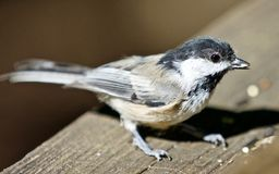 Beautiful  picture of a cute black-capped chickadee bird Stock Photo