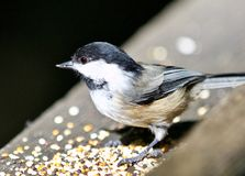 Beautiful  picture of a cute black-capped chickadee bird Royalty Free Stock Images