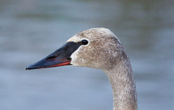 Beautiful  picture with a cute trumpeter swan. On the evening Stock Images