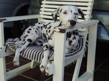 A beautiful dalmatian dog in a chair stock photography