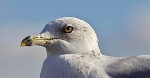 Beautiful picture of a gull and a sky Stock Photography