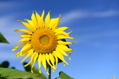 Beautiful picture. Large sunflower background, for free writing. Royalty Free Stock Images