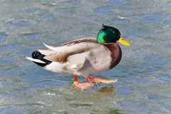 Beautiful picture with a mallard standing on ice. Beautiful postcard with a mallard standing on ice Stock Photo
