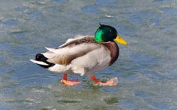 Beautiful image of a mallard walking on ice. Beautiful picture with a mallard walking on ice Royalty Free Stock Images