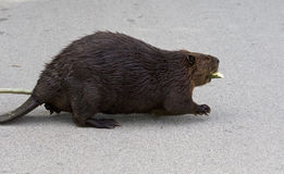 Beautiful picture with a North American beaver walking on the road Royalty Free Stock Photos