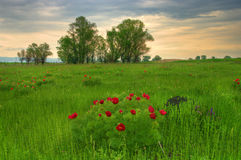 Beautiful picture with Paeonia tenuifolia royalty free stock images
